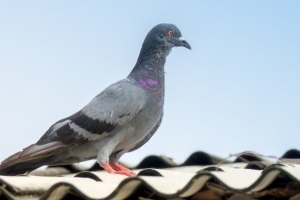 Pigeon Control, Pest Control in Hayes, Harlington, UB3, UB4. Call Now 020 8166 9746