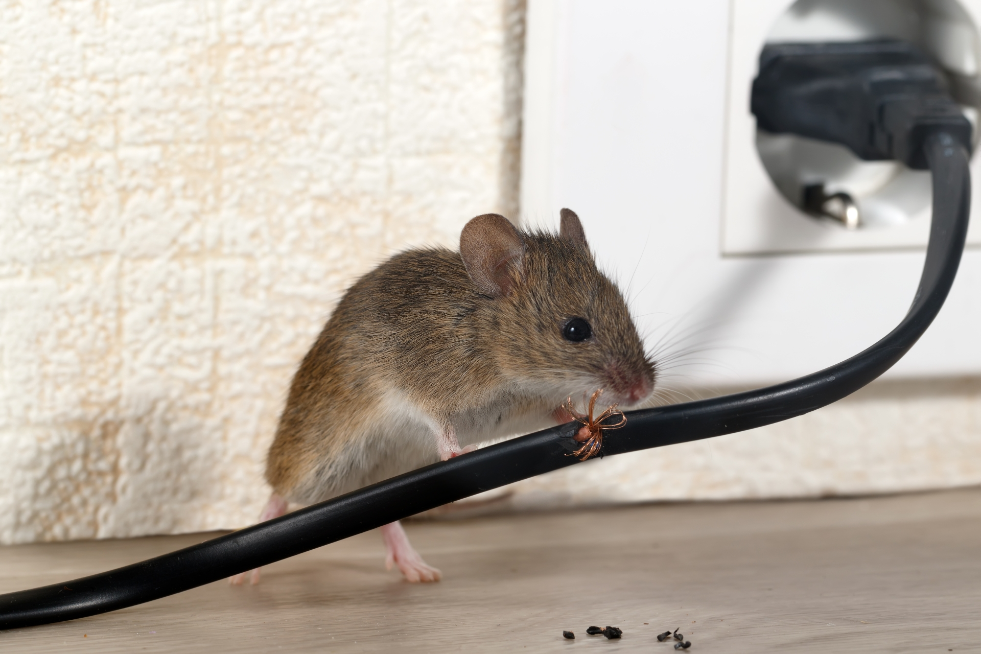 Mice Infestation, Pest Control in Hayes, Harlington, UB3, UB4. Call Now 020 8166 9746