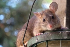 Rat Control, Pest Control in Hayes, Harlington, UB3, UB4. Call Now 020 8166 9746